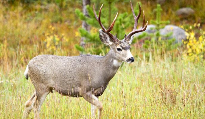 mule deer (nps.gov)