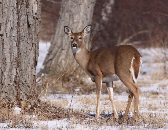 white tail deer (Penn State University - Erie)