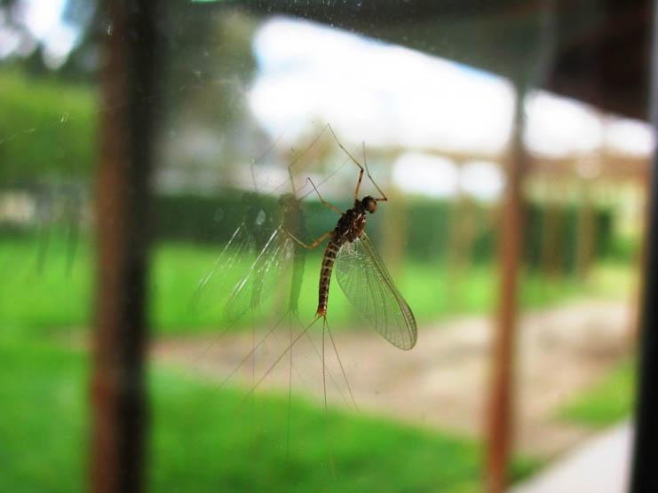 Ephemeroptera A&P.COM-