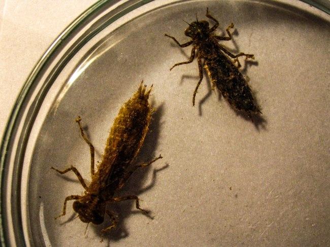 Odonata Rio Cruces-2226